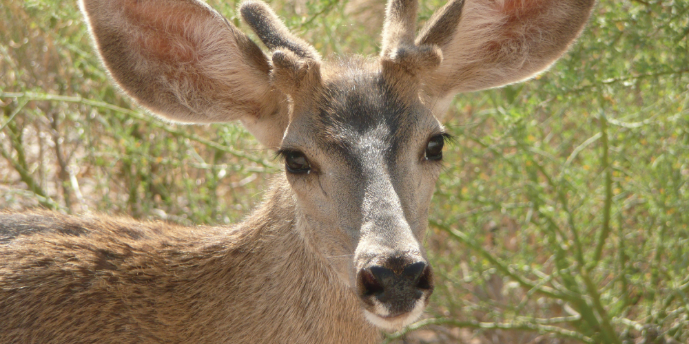 closeup photo of beautiful young deer buck